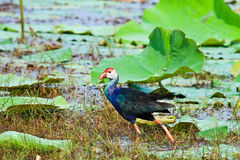 Swamphen Images stock