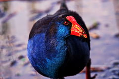 Swamphen Obraz Stock