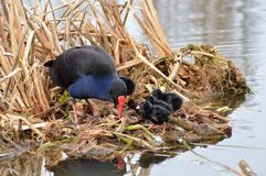 Swamphen with chicks Stock Photography