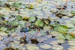 Swamphen en Thale Noi Fotos de archivo libres de regalías
