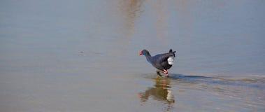Swamphen occidental croisant une lagune peu profonde Photographie stock libre de droits