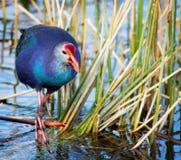 Swamphen púrpura Imagen de archivo libre de regalías