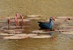 Swamphen púrpura, poliocephalus del Porphyrio, Lalbagh, Bangalore, Karnataka, la India fotos de archivo libres de regalías
