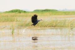 Swamphen pourpre couru au-dessus du lac images stock