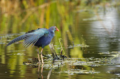 Swamphen pourpre (Porphyrio de Porphyrio) Photo libre de droits