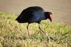 Swamphen Pukeko fågel Arkivfoto