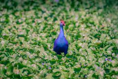 Swamphen roxo - porphyrio do Porphyrio Fotografia de Stock