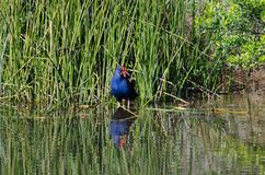 Swamphen. This Swamphen stood looking across the lake, no camouflage; but with that mean look, maybe it never needs one Stock Photos