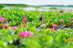 Swamphen viola Fotografie Stock