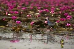 Swamphen viola alle aree umide di Thale Noi Fotografie Stock Libere da Diritti