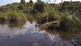 Swamphen walking through pond stock footage