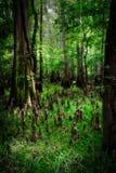 Swampland национального парка Congaree стоковое изображение rf