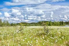 Swampland wth white blooming cotton grass and blue sky Royalty Free Stock Photos
