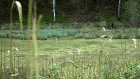 Swamps in autumn. Cool dark lake in primeval forest