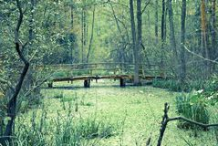 Swamps in the forest. A small wooden bridge and swamps in the forest Stock Image
