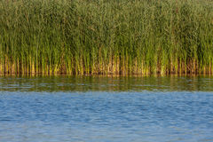 Swamps overgrown with reeds Stock Images