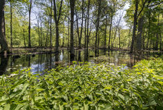 Swamps in the Polish forest Stock Image