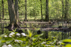 Swamps in the Polish forest Stock Photography