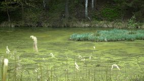 Swamps in summer. Cool green lake in primeval forest