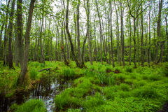Swampy forest Stock Photography