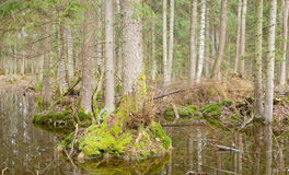 Swampy forest with water standing. Spring landscape of old forest and water royalty free stock photos