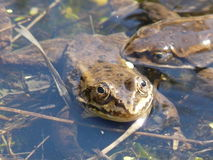 Swampy Frog Stock Photo