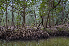 Swampy mangrove forest Royalty Free Stock Image