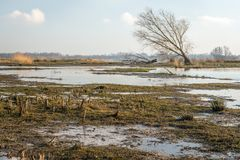 Swampy part of a Dutch National Park in the winter season. In the background is a skew gronw bare tree Stock Photos
