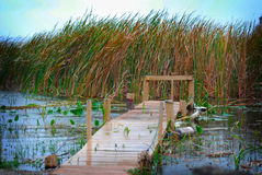 Swampy pier. Stock Photography