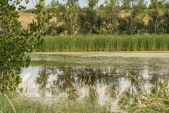 Swampy Pond. Calm swampy pond in Colorado with reflection in water Royalty Free Stock Photography