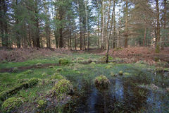 Swampy pool in the New Forest, Hampshire, England Royalty Free Stock Images