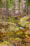 Swampy stream in Altay Taiga Royalty Free Stock Photography