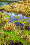 Swampy stream in Altay Taiga Royalty Free Stock Images