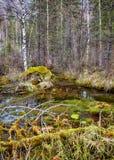 Swampy stream in Altay Taiga Stock Photos