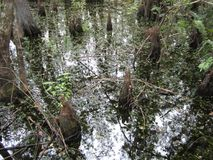 Swampy water with cypress knees stock photos