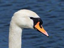 Swanmuto- olor del Cygnus Fotografie Stock