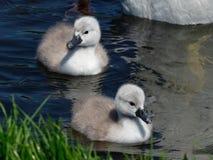 Swanmuto- olor del Cygnus Fotografia Stock