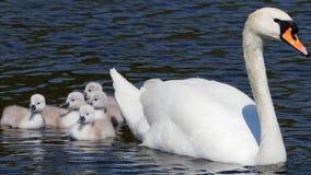 Swanmuto- olor del Cygnus Fotografie Stock Libere da Diritti