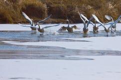 Swan湖在冬天 免版税库存照片