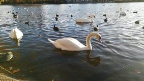 Swan湖在海德公园,伦敦,英国 免版税库存照片