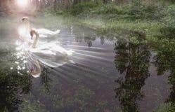 swan światła Obraz Royalty Free