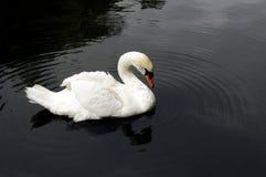 Swan-1 Imagen de archivo libre de regalías
