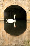 Swan 1 Stock Images