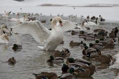 Swan 10 Arkivfoto