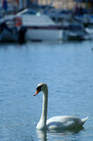 Swan. A lone swan floating by a marina with boats in the background out of focus Stock Image