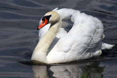 Swan. Closeup picyture of a beautiful White Swan swimming Royalty Free Stock Photo