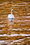 Swan. Single swan reflected on golden lake at sunset Royalty Free Stock Photos