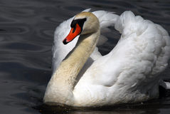 Swan. Closeup picture of a beautiful White Swan swimming Royalty Free Stock Photos