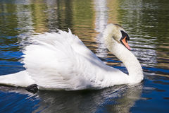 Swan. Swiming in the lake Royalty Free Stock Photography