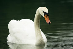 Swan. Is swimming on the lake Stock Images